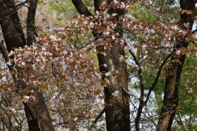 山桜の仲間